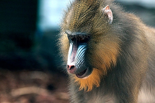 Auffällige Affen haben kleine Hoden: VBIO
